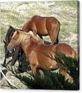 A Proud Stallion With His Mares Canvas Print