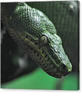 A Real Reptile Canvas Print