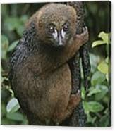 A Red-bellied Lemur Clings To A Tree Canvas Print
