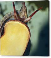 A Red Lip Triton Snail Charonia Canvas Print