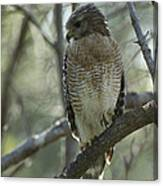 A Red Shouldered Hawk Perches In A Tree Canvas Print