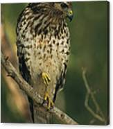 A Red Shouldered Hawk Perches On A Tree Canvas Print