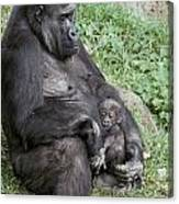 A Relaxed Western Lowland Gorilla Canvas Print