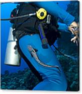 A Remora Attached To A Diver, Kimbe Canvas Print