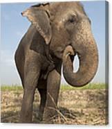 A Rescued Asian Elephant Eats Sugar Canvas Print