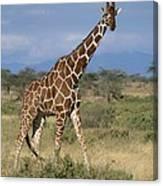 A Reticulated Giraffe On A Samburu Canvas Print