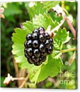 A Ripe Blackberry Canvas Print