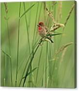 A Scarlet Grosbeak Perched On Grass Canvas Print