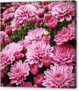 A Sea Of Pink Chrysanthemums Canvas Print