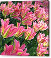 A Sea Of Pink Tulips. Square Format Canvas Print