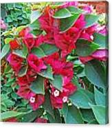 A Section Of Pink Bougainvillea Flowers Canvas Print