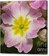 A Shy Flower  Canvas Print