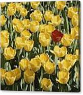 A Single Red Tulip Among Yellow Tulips Canvas Print