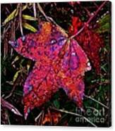A Single Sweetgum Leaf Canvas Print