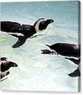 A Small Squadron Of Swimming Penguins Canvas Print