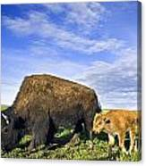 A Sow Bison Guides Her Calves On A Walk Canvas Print