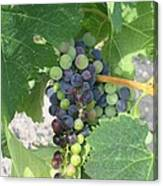 A Spider On The Grapes Canvas Print