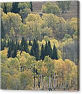 A Stand Of Aspen And Evergreen Trees Canvas Print