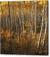 A Stand Of Aspen Trees Displaying Canvas Print
