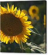 A Sunflower Bows To Its Own Weight Canvas Print