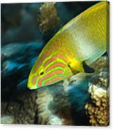 A Sunset Wrasse Swimming Canvas Print