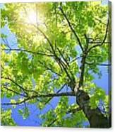A Tall Tree Canvas Print