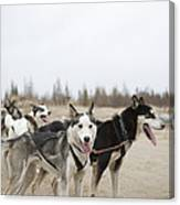 A Team Of Dogs Pull A Cart Canvas Print