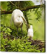 A Tender Moment - Great Egret And Chick Canvas Print