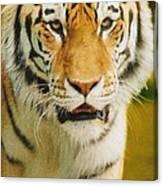A Tiger Canvas Print