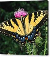 A Tiger Swallowtail Butterfly Feeds Canvas Print