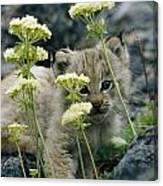 A Tiny Lynx Cub Felis Lynx Peeks Canvas Print
