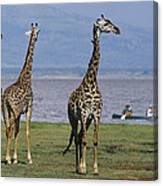 A Trio Of Giraffes Near The Edge Canvas Print