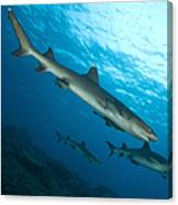 A Trio Of Whitetip Reef Sharks, Kimbe Canvas Print