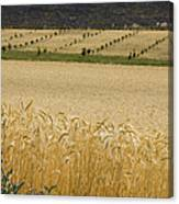 A View Of A Summer Field Of Wheat Canvas Print