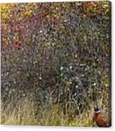 A Watchful Pheasant Canvas Print
