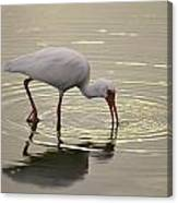 A White Ibis Probes The Mud Canvas Print