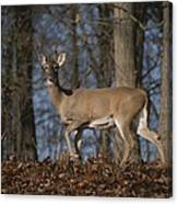 A Wild Deer Caught In Early Morning Canvas Print