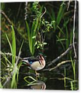 A Wood Duck Reflected In Creek Water Canvas Print