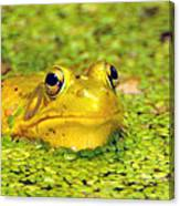 A Yellow Bullfrog Canvas Print
