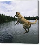 A Yellow Labrador Retriever Jumps Canvas Print