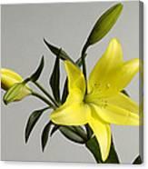 A Yellow Lily Lilium Canadense Canvas Print