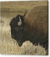 A Yellowstone Bison 9615 Canvas Print