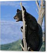 A Young American Black Bear Urus Canvas Print