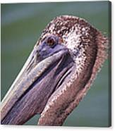 A Young Brown Pelican Canvas Print
