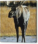 A Young Bull Moose Canvas Print