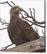 A Young Eagle In The Midst Of Change  Canvas Print