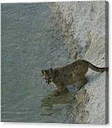 A Young Mountain Lion Prepares To Take Canvas Print