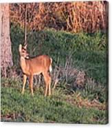 Aah Baby - Deer Canvas Print