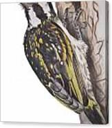 Acacia Pied Barbet Canvas Print