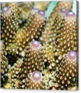 Acropora Plate Coral Polyps Canvas Print